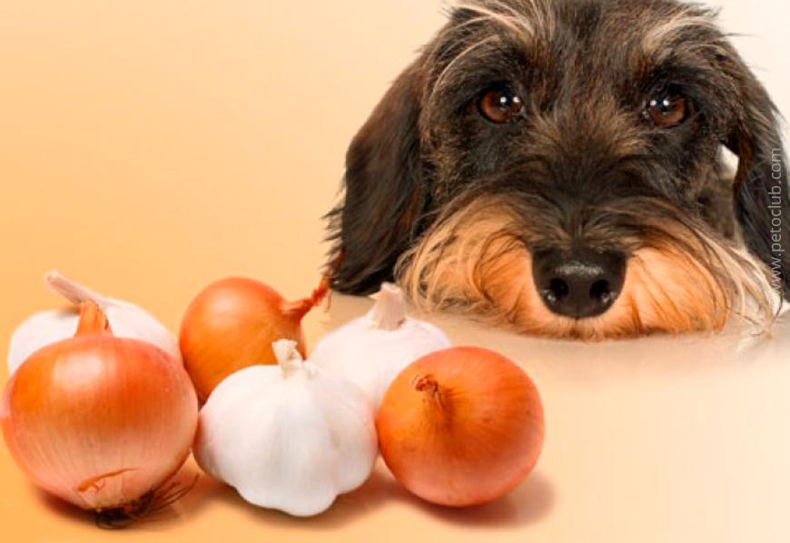 Клинический случай: отравление виноградом у собаки