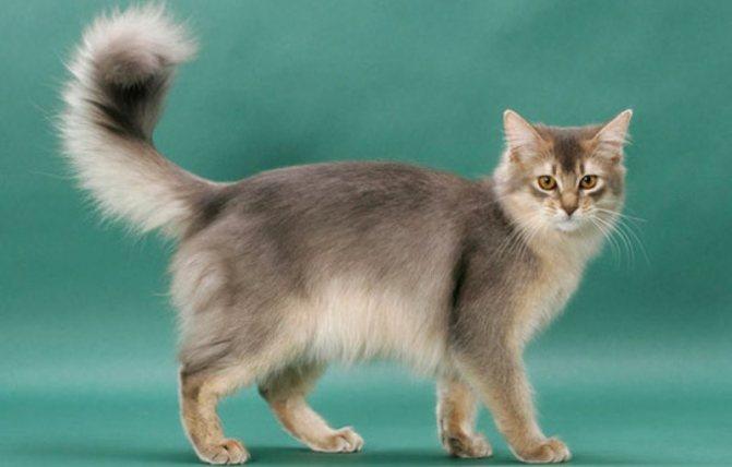 Мейн кун — фото описание с характеристикой породы кошек от а до я! интересные факты + отзывы