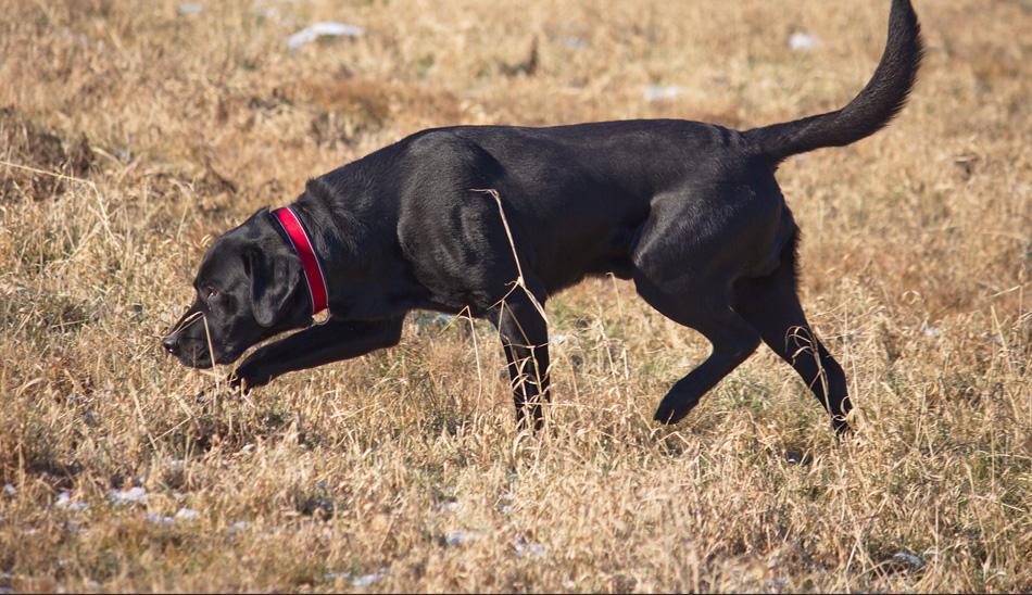 Охотничьи породы собак. описания, названия и виды охотничьих собак