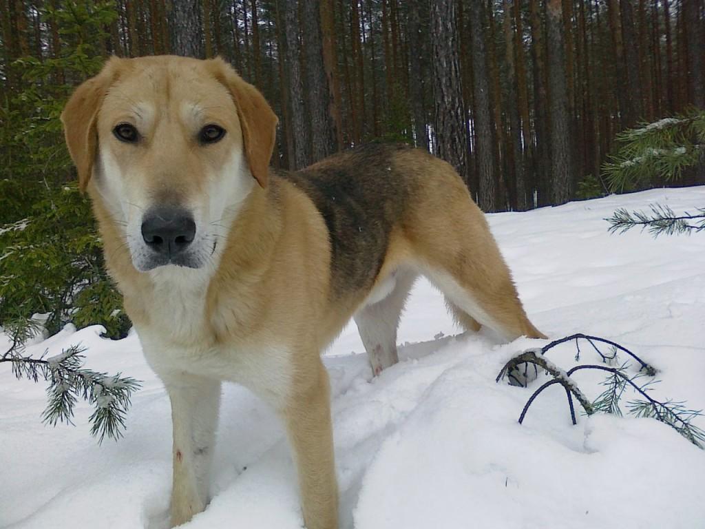 Русский гончий собака: внешний вид, характер, воспитание, охота, цена