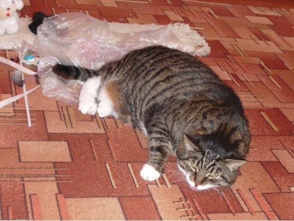 Недержание мочи у кошек - причины и лечение