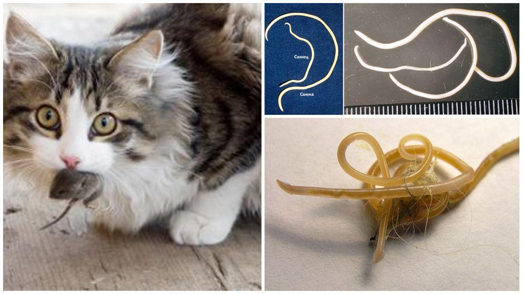 Глисты у кошек: виды, фото и локализация гельминтовветлечебница рос-вет