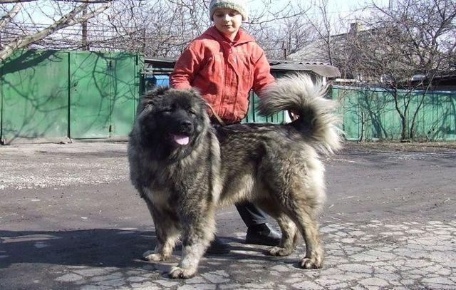 Кавказская овчарка характеристика породы характер описание