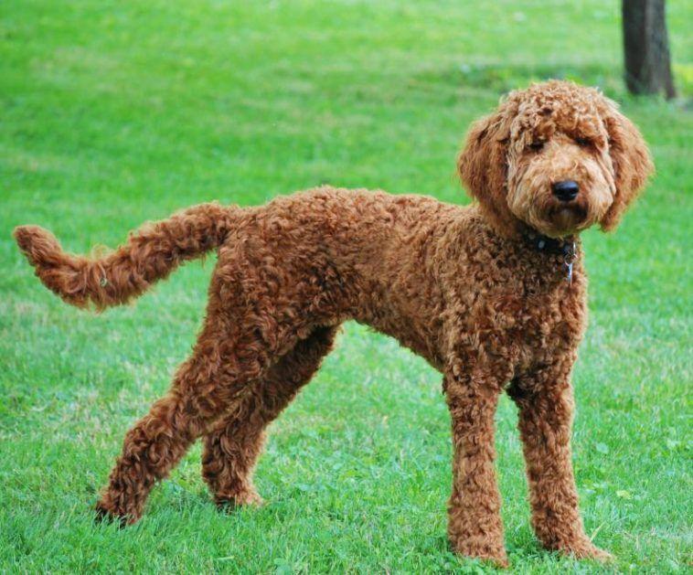 Знакомство с породой собак лабрадудль
