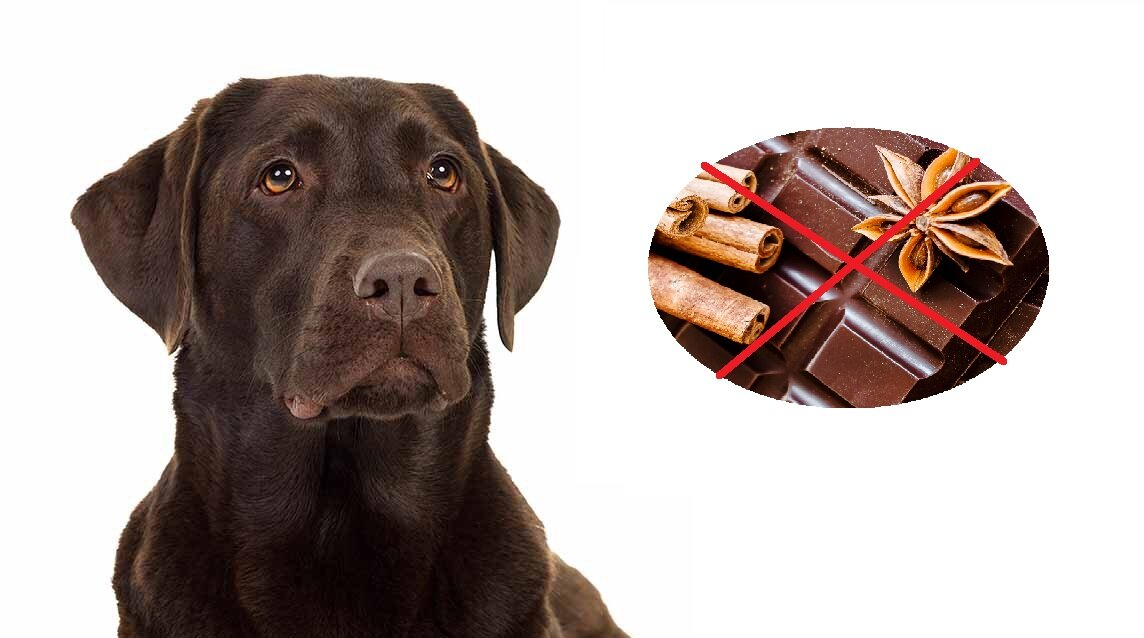 Если собака съела шоколад через сколько симптомы