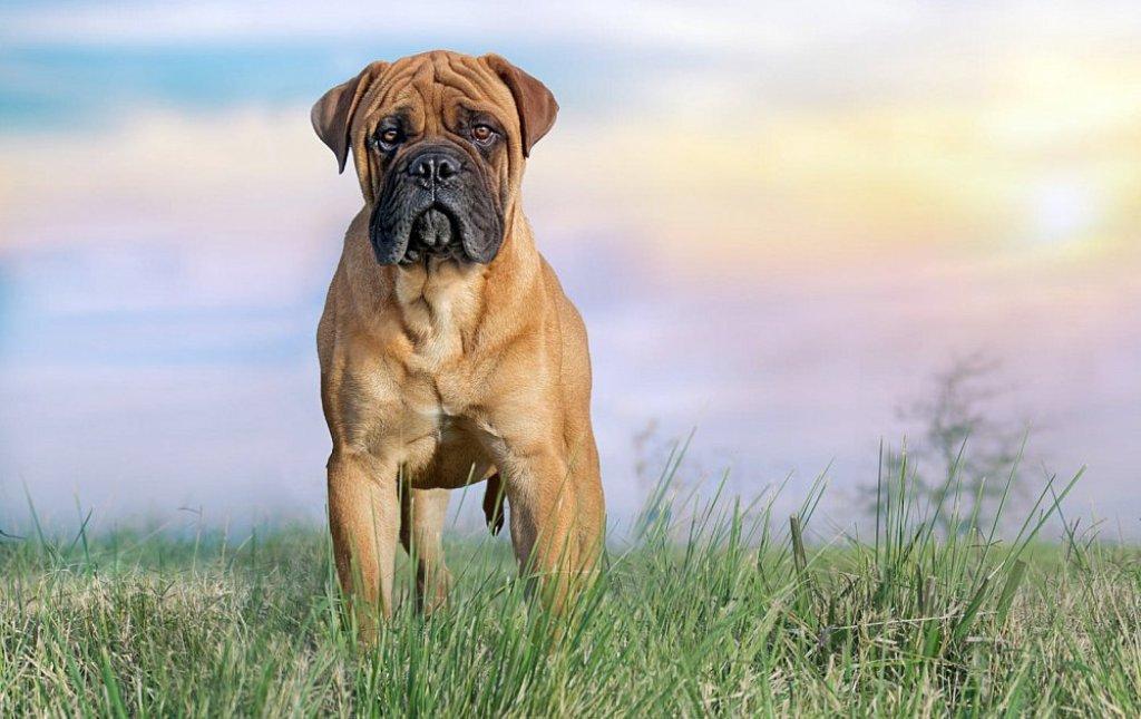 Бульмастиф: характеристика породы собак и выращивание