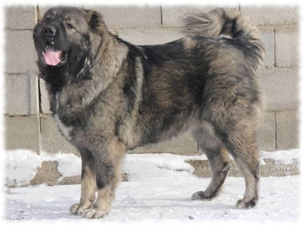Кавказская овчарка (волкодав) — фото, характеристика породы и особенности содержания собаки