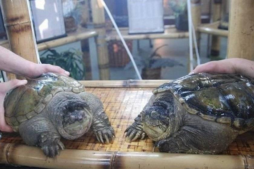 Каймановая черепаха, или кусающаяся черепаха   мир животных и растений