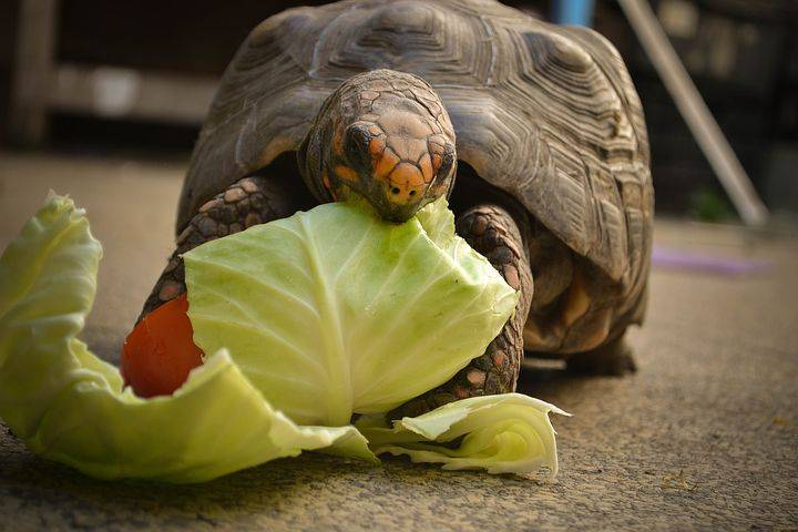 Можно ли давать красноухим и сухопутным черепахам яблоки, капусту, бананы и другие вопросы питания