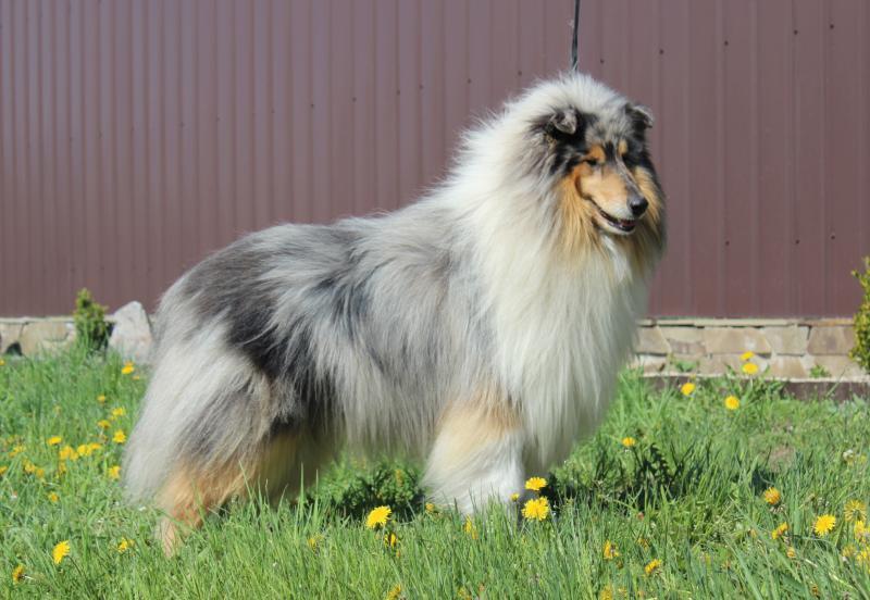 Породы маленьких гладкошерстных собак (31 фото): выбор короткошерстных собак для квартиры, характеристика животных небольших размеров