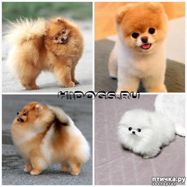 Топ-30 самых маленьких пород собак с названиями и фото