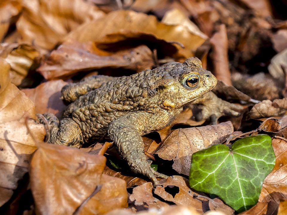 Описание обыкновенной серой жабы из красной книги