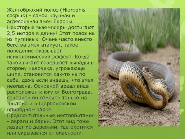Желтобрюх змея. образ жизни и среда обитания желтобрюха | живность.ру