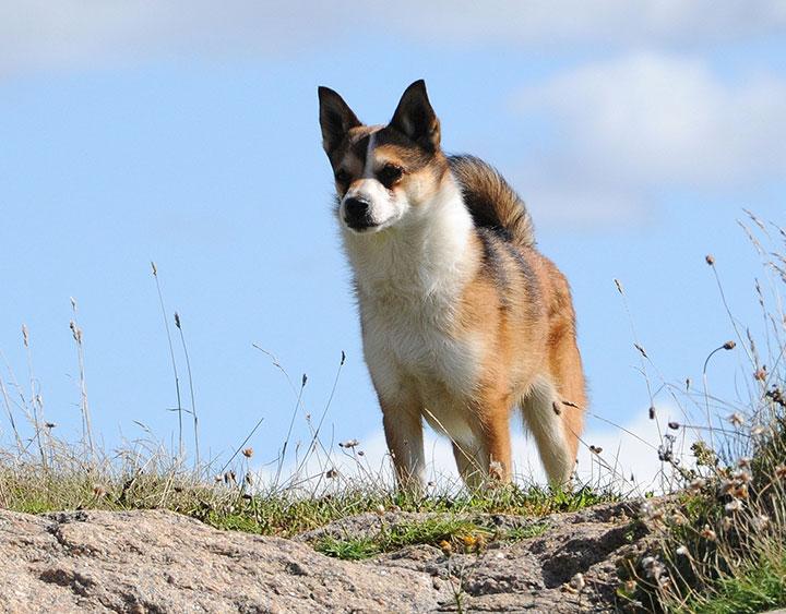Лундехунд порода собак. описание, особенности, уход и цена лундехунда   животный мир