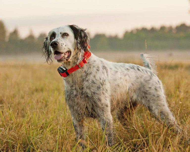 Ирландский сеттер: все о собаке, фото, описание породы, характер, цена