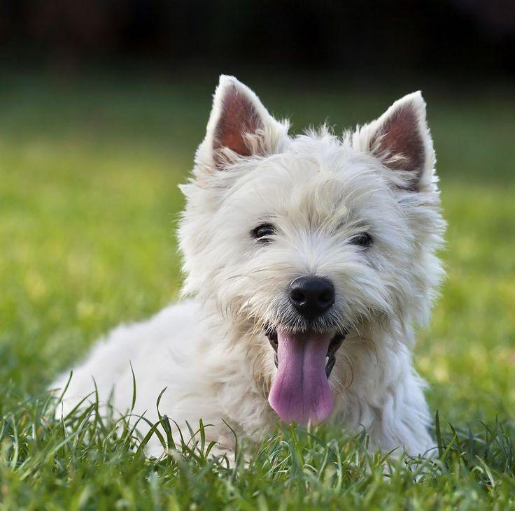 Вест-хайленд-уайт-терьер: описание породы, плюсы и минусы собаки