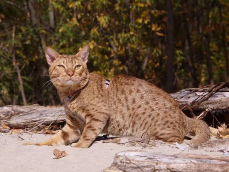 Турецкая ангора (50 фото кошки): описание породы и характера, цена котенка, сколько живет, интересные факты