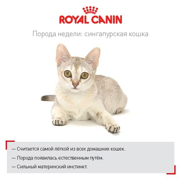 Кошка породы мэнкс: описание внешности и характера, уход за питомцем и его содержание, выбор котёнка, отзывы владельцев, фото кота