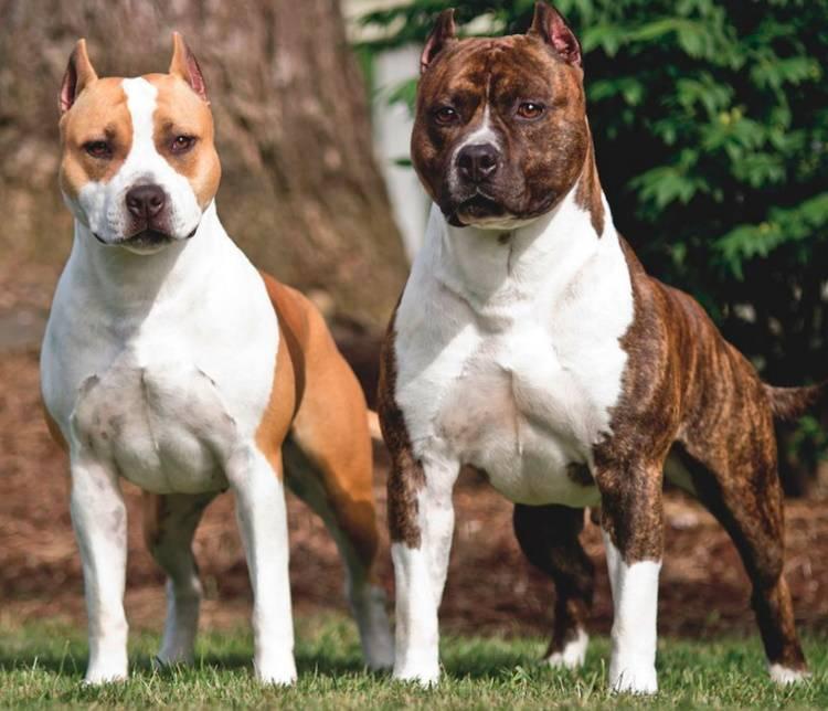 Собака-убийца или шерстяной нянь для детей? особенности воспитания амчтаффа