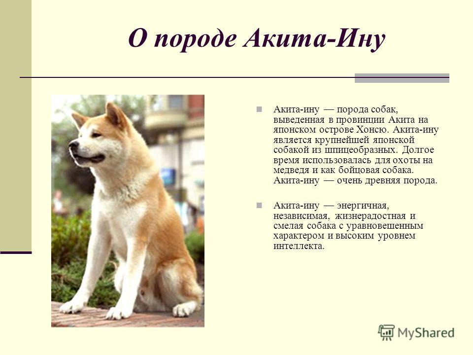 Акита-ину (akita inu) - воплощение достоинства и элегантной мощи.