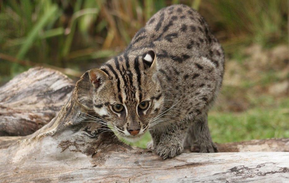 Кошка-рыболов или виверровый кот: 25+ фото крапчатой, цена