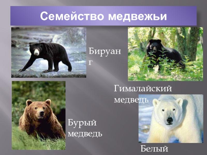 Где живет, обитает, чем питается бурый медведь: материк. медведь – описание, характеристика, строение. виды бурых медведей, названия и фото