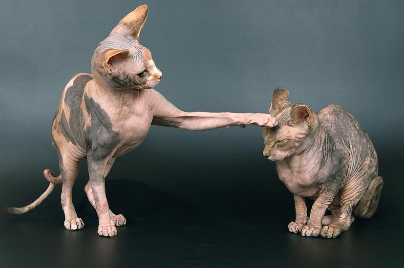 Гипоаллергенные кошки и коты: породы, особенности выбора и содержания