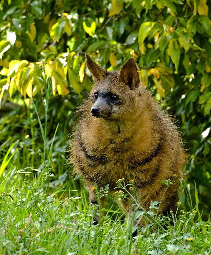 Земляной волк, его особенности, образ жизни и среда обитания   givotinki.ru