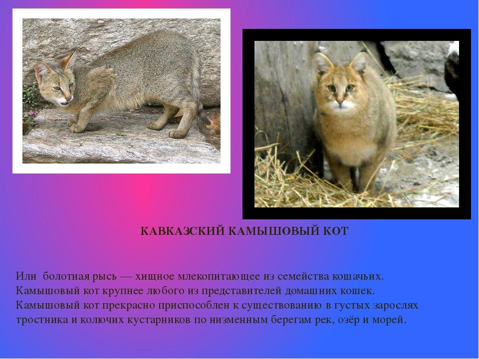 Камышовый кот (120 фото): интересные факты, внешний вид, окрас, размеры, особенности содержания и ухода