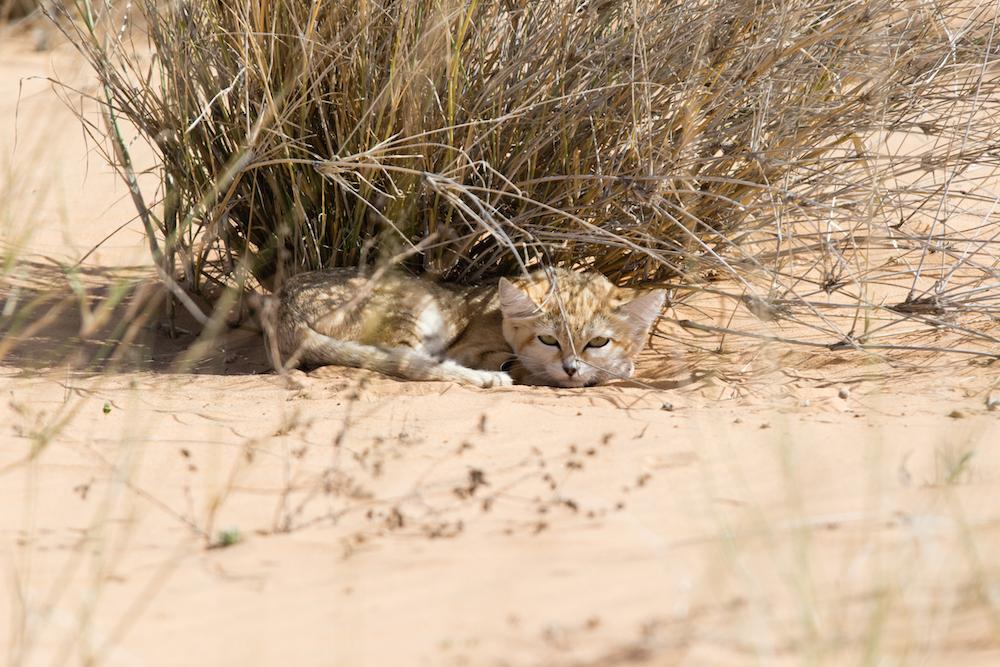 Барханный кот (fеlis mаrgаritа)