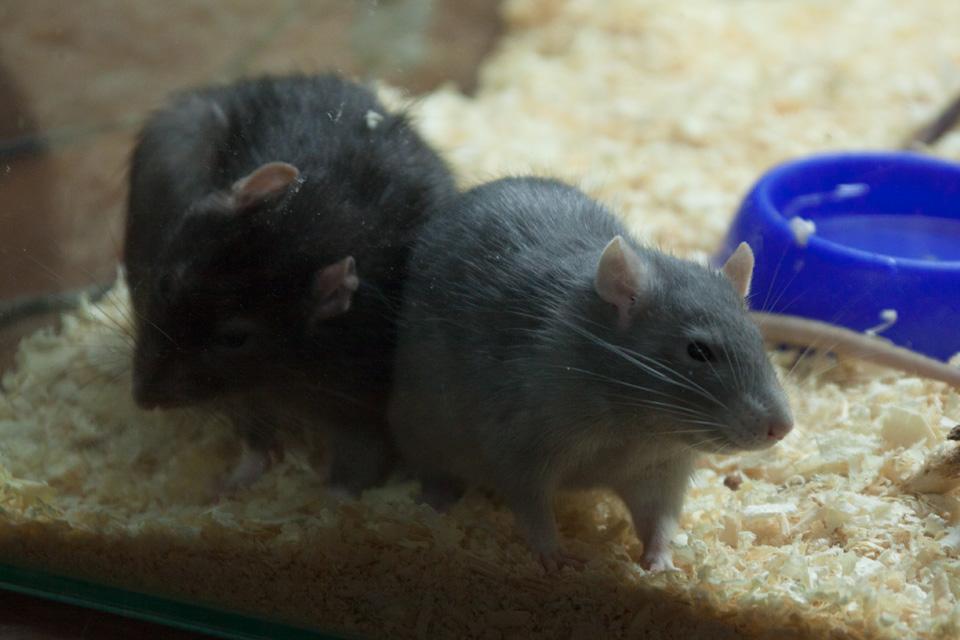 Содержание декоративных мышей | декоративные мыши