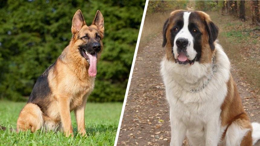 Лучшие породы собак для частного дома: топ-10