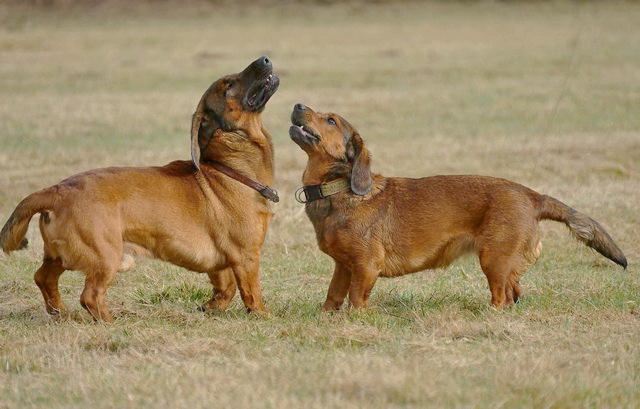 Гончие собаки: породы и особенности   hill's