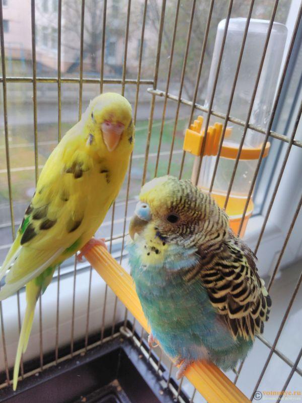 Как определить пол попугая? 13 фото как отличить мальчика от девочки по поведению?