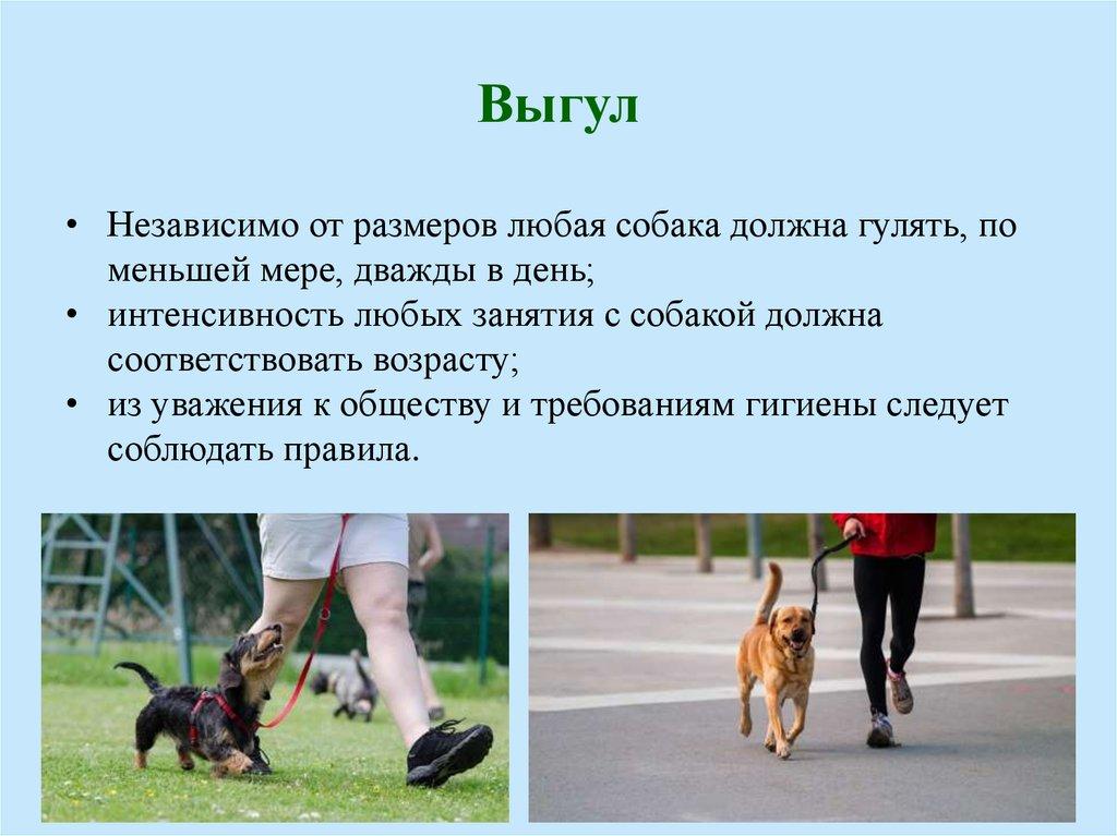 Правила выгула собак: периодичность и длительность прогулок в день