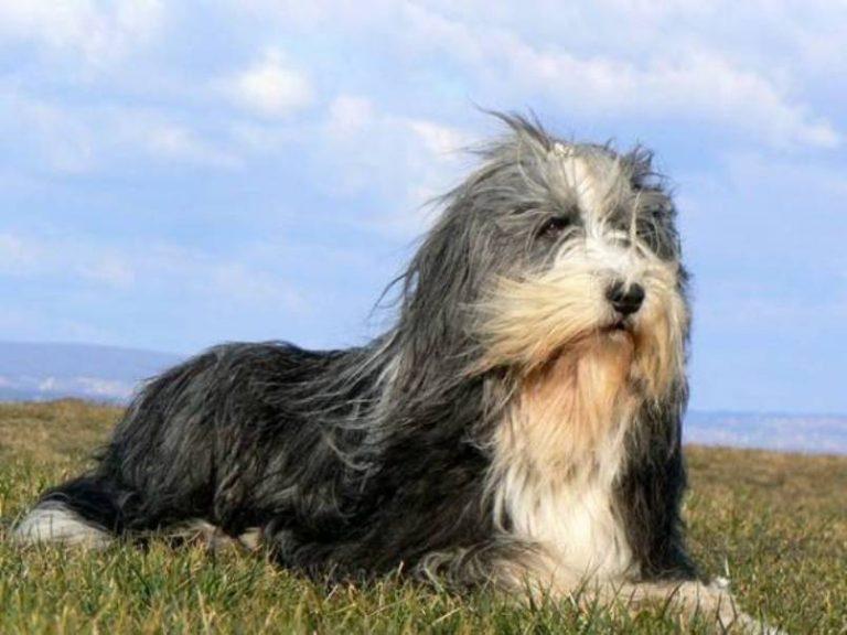 ᐉ какую разновидность овчарки называют колли – шотландская пастушья собака - zoomanji.ru