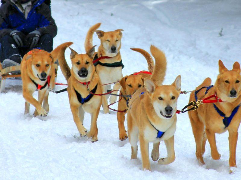 Чинук: характеристики породы собаки, фото, характер, правила ухода и содержания