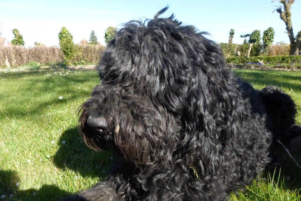 Кламбер спаниель собака. описание, особенности, виды, уход и цена породы. кламбер-спаниель: британец с французскими корнями