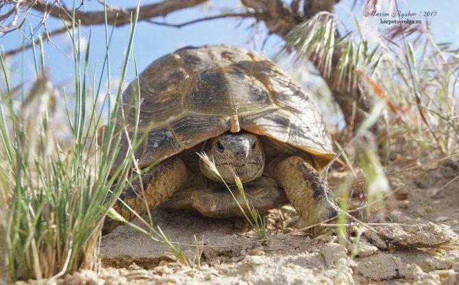 ᐉ черепахи в россии: какие разновидности живут и водятся в нашей природе - zoopalitra-spb.ru