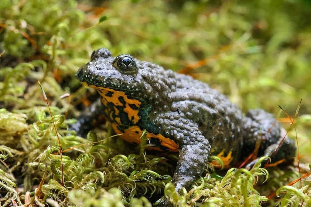 Чем питаются лягушки в огороде. жаба земляная