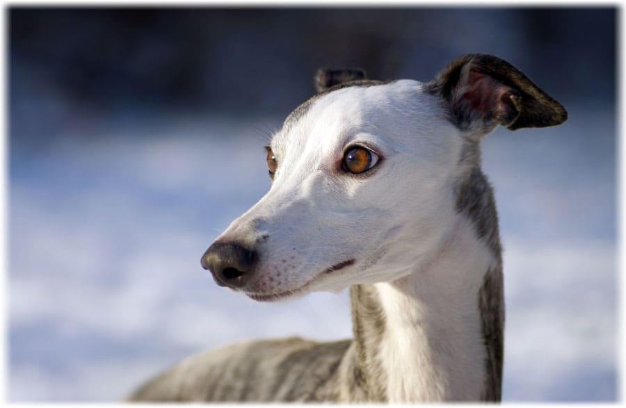 Уиппеты (42 фото): характеристика породы английская борзая, подходящая одежда для щенков, отзывы владельцев собак