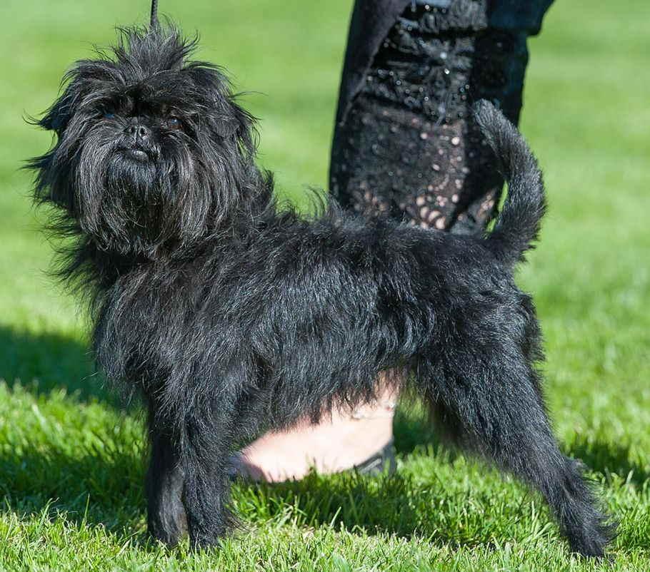 Аффенпинчер собака. описание, особенности, уход и цена аффенпинчера