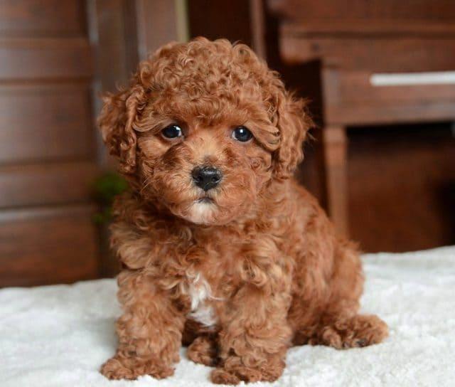 Маленькие породы собак - 35 маленьких собак с описанием и фото