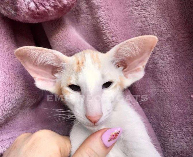 Ориентальная кошка: характеристика породы, здоровье, уход и содержание, правила воспитания котенка, цена (150 фото)