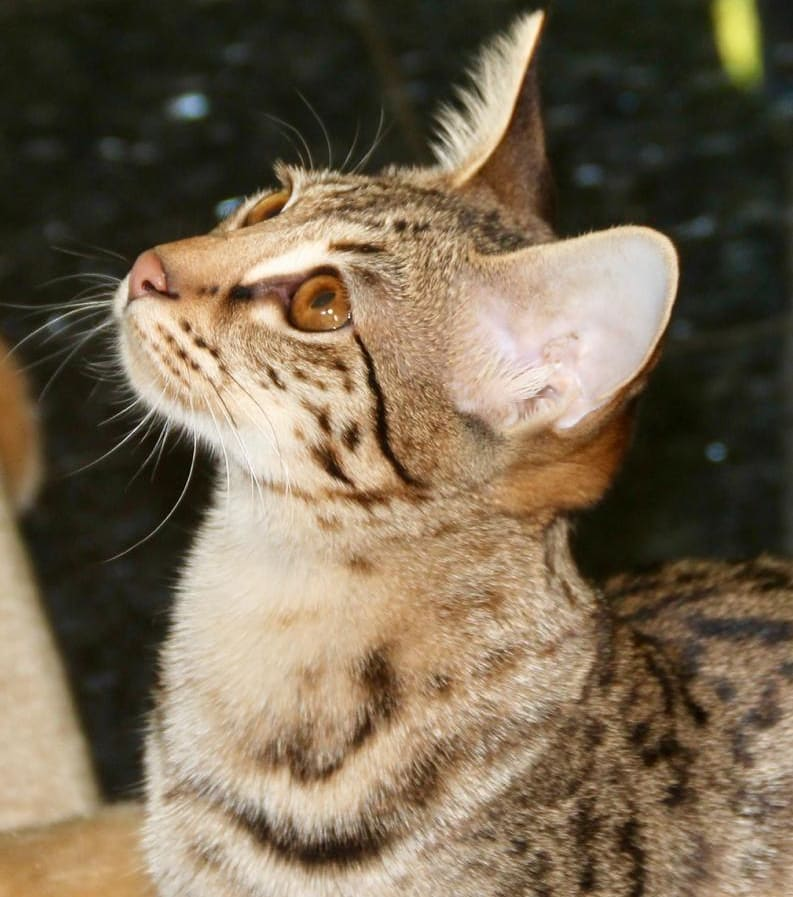 Персидская кошка: фото, цена котенка, история и характеристика породы, типичные болезни кошки