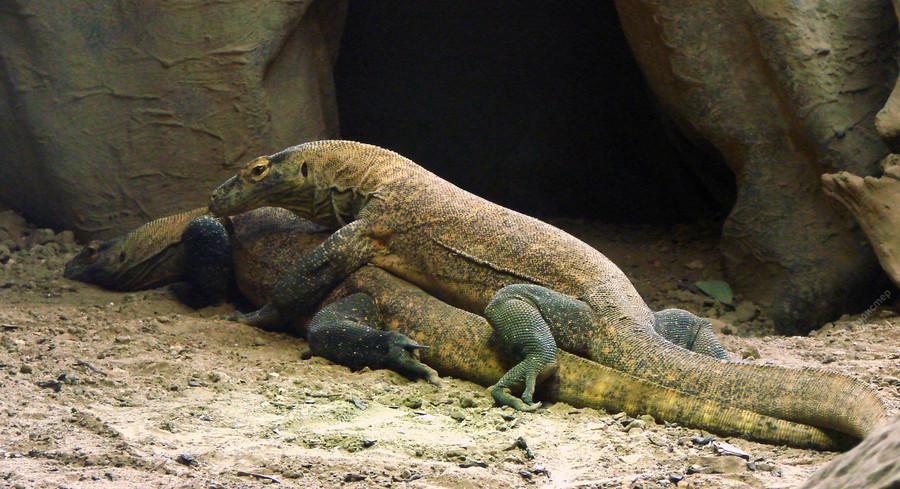 Комодский варан: где обитает, чем питается, размеры и вес