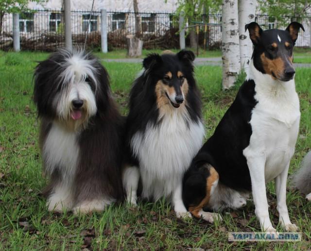 Собака колли: описание породы, характер и внешний вид