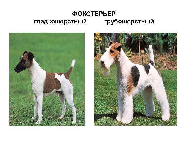 Жесткошерстный фокстерьер - порода собак - информация и особенностях | хиллс