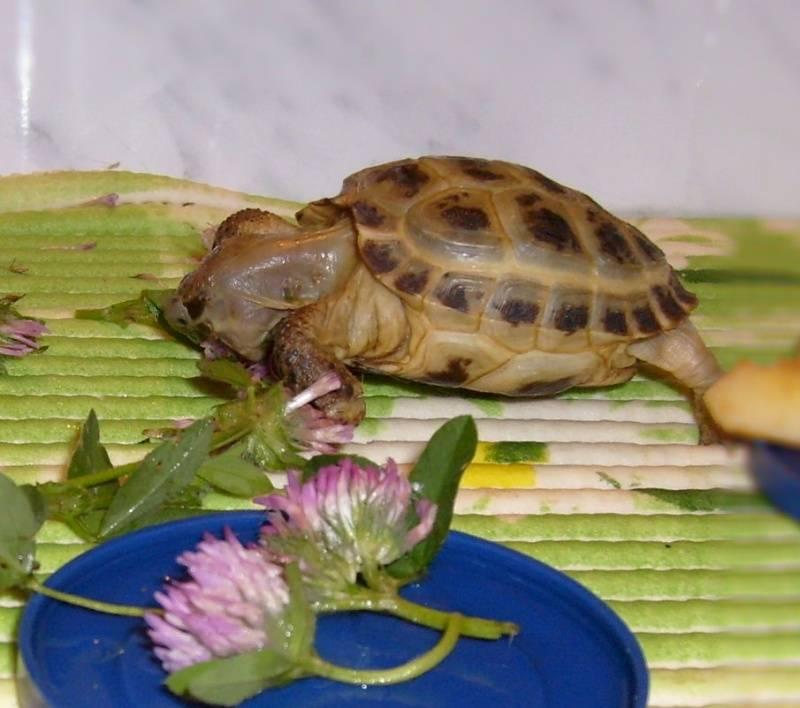 Чем можно кормить сухопутных черепах, что едят черепахи