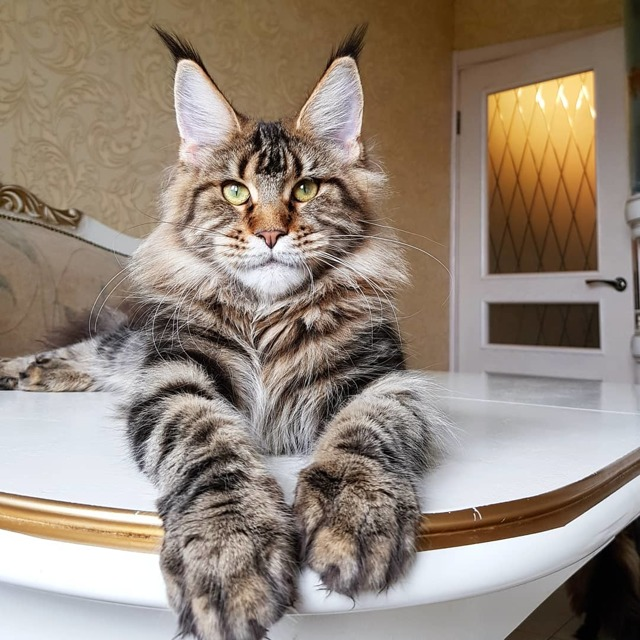 Самые большие кошки и коты в мире: фото и описания
